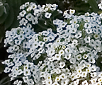 Lobularia 'Snow Princess'